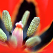 Tulip At Amatzia Forest - 5 Art Print