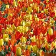 Tulip Delight 1 Art Print
