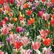 Tulip Delight 4 Art Print