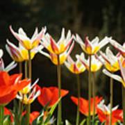 Tulip Field 11 Art Print
