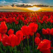 Tulip In Sunset Art Print