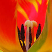 Tulip Intimate Art Print