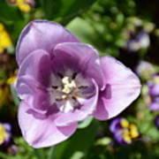 Tulip Lavender Art Print