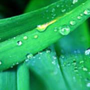 Tulip Leaf Droplets-2 Art Print