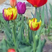 Tulip Mixture Art Print