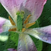 Tulip Passing Beauty Art Print