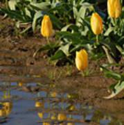 Tulip Reflections Art Print