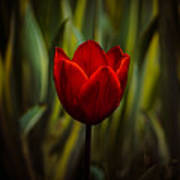 Tulip Art Print by Rod Sterling
