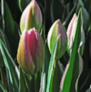 Tulip Series 3 Art Print