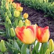 Tulip Town 6 Art Print
