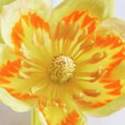 Tulip Tree Flower Art Print