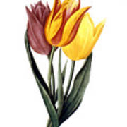 Tulip (tulipa Gesneriana) Art Print