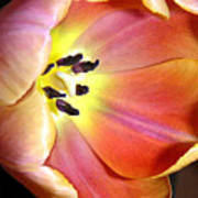 Tulip Up Close Art Print