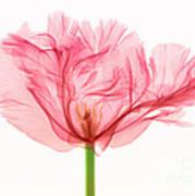 Tulip, X-ray Art Print