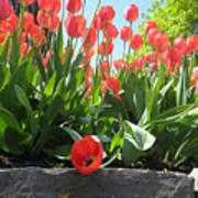 Tulipes Tulipe Art Print