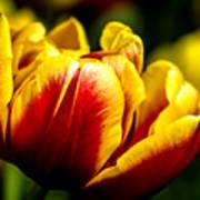 Tulips 7 Art Print