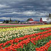 Tulips And Barn Art Print