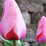 Tulips Artwork Flowers 26 Pink Tulip Flowers Art Prints Nature Floral Art Art Print