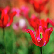 Tulips At Honor Heights Art Print