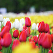 Tulips By Jared Windmuller - Tulip - Red -  Art Print