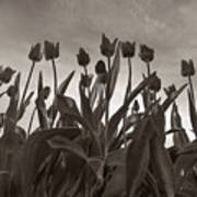 Tulips In Black And White Art Print