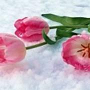 Tulips In Snow Art Print