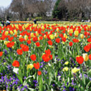 Tulips In The Park. Art Print