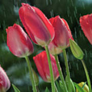 Tulips In The Rain Art Print