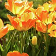 Tulips In The Sunlight Art Print