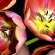 Tulips Reaching For The Light Art Print