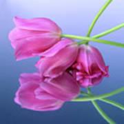 Tulips .tulipa. Art Print