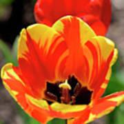 Tulips Yellow Red Art Print