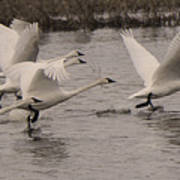 Tundra Swans Take Off Art Print
