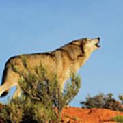 Tundra Wolf Art Print
