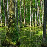 Tupelo Trees In Mississippi  Art Print