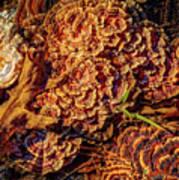 Turkey Tail Mushrooms  Art Print