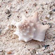 Turks And Caicos Shell Art Print