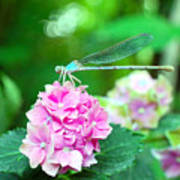 Turquiose Dragonfly  And Hydrangea Art Print