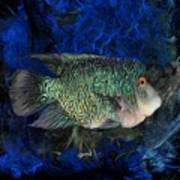 Turquoise Texas Cichlid  Art Print