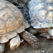 Turtle Turtle Art Print
