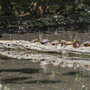 Turtles Sunning On A Log Art Print