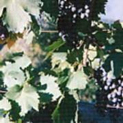 Tuscan Grapes Photograph Art Print