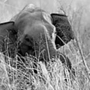 Tusker In The Grass Art Print