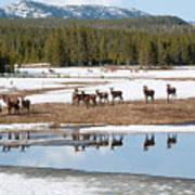 Twice The Elk Art Print