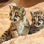 Twin Cougar Kittens Art Print