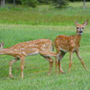 Twin Fawns Playing Art Print