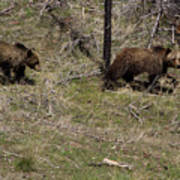 Twin Grizzlies-signed-#3299 Art Print
