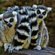 Twin Lemurs Art Print