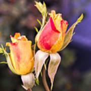 Twin Roses Of Love Art Print