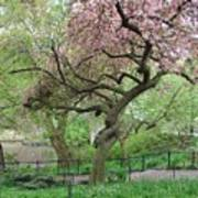 Twisted Cherry Tree In Central Park Art Print